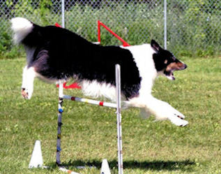 Elvis clearing a single jump while barking